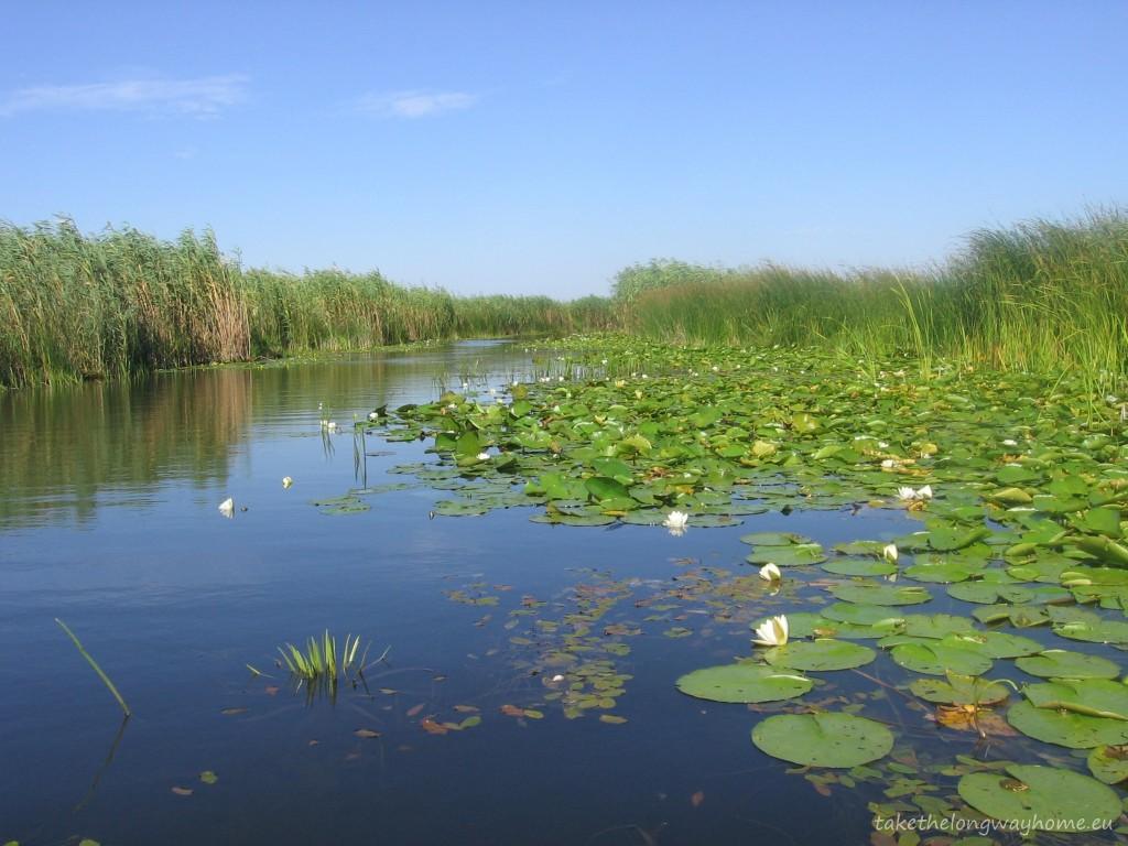 Nuferi în Delta Dunării
